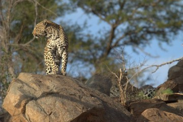Leopard-in-rocks-5